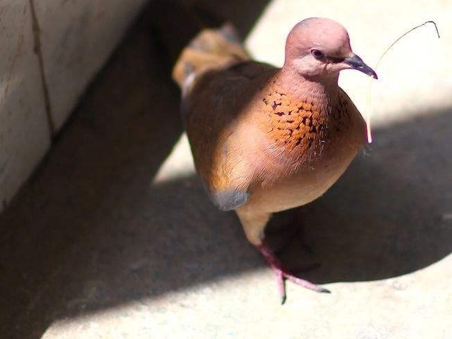 Просто красивый голубь с веткой в клюве