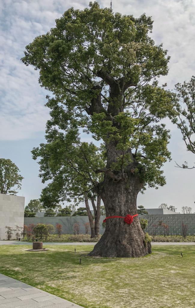 2000-летнее камфарное дерево, которое прижилось на новом месте