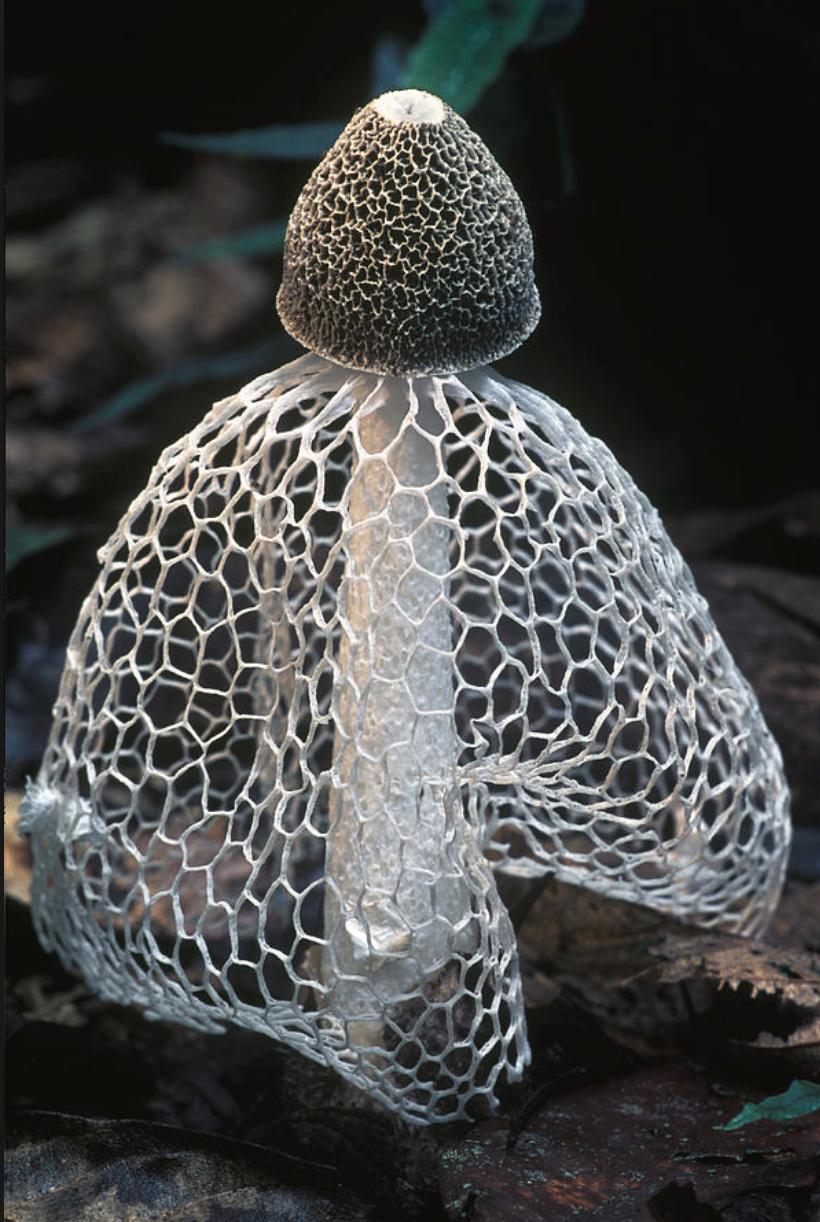 Dychtiophora