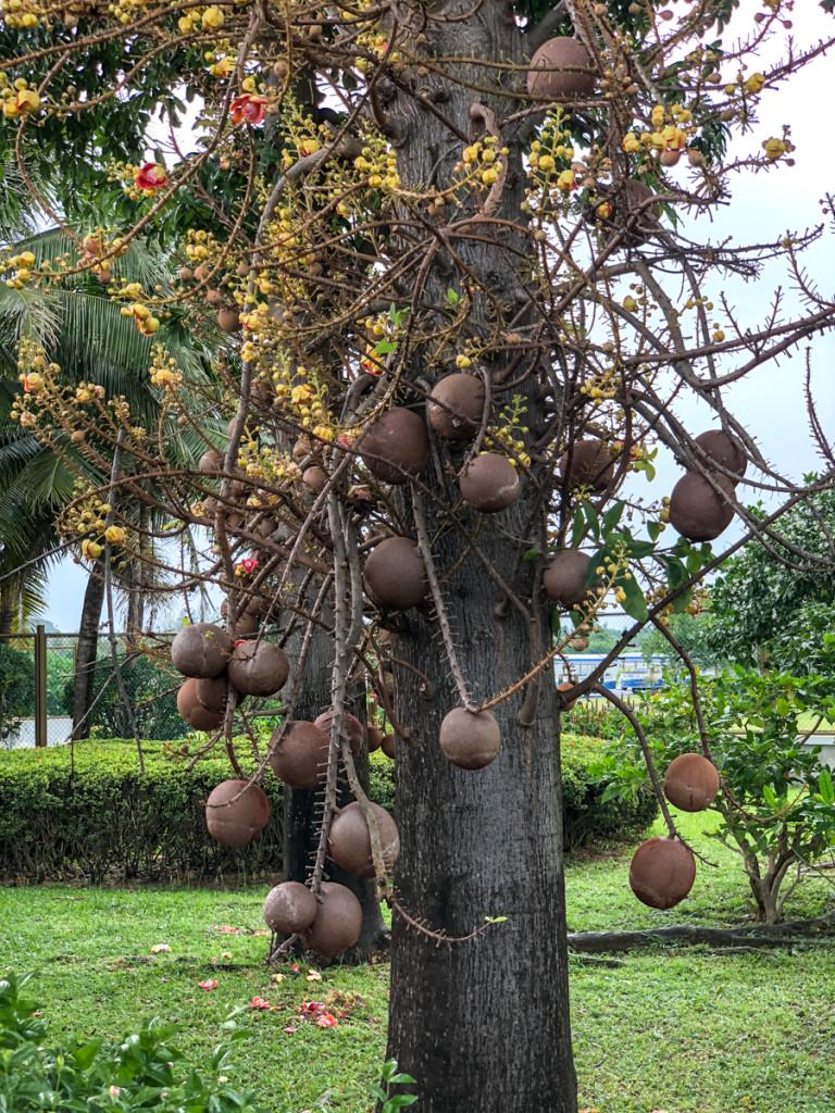 Couroupita Guianensis или Крупита Гвианская, или дерево пушечных ядер