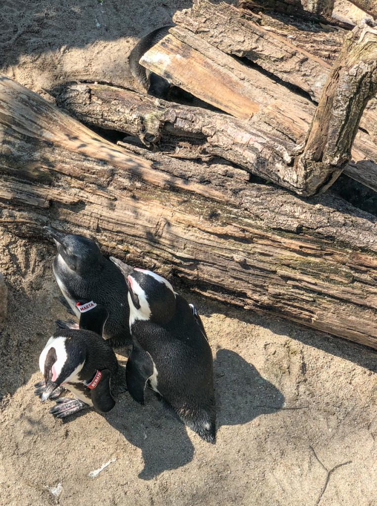 Пингвины с именами