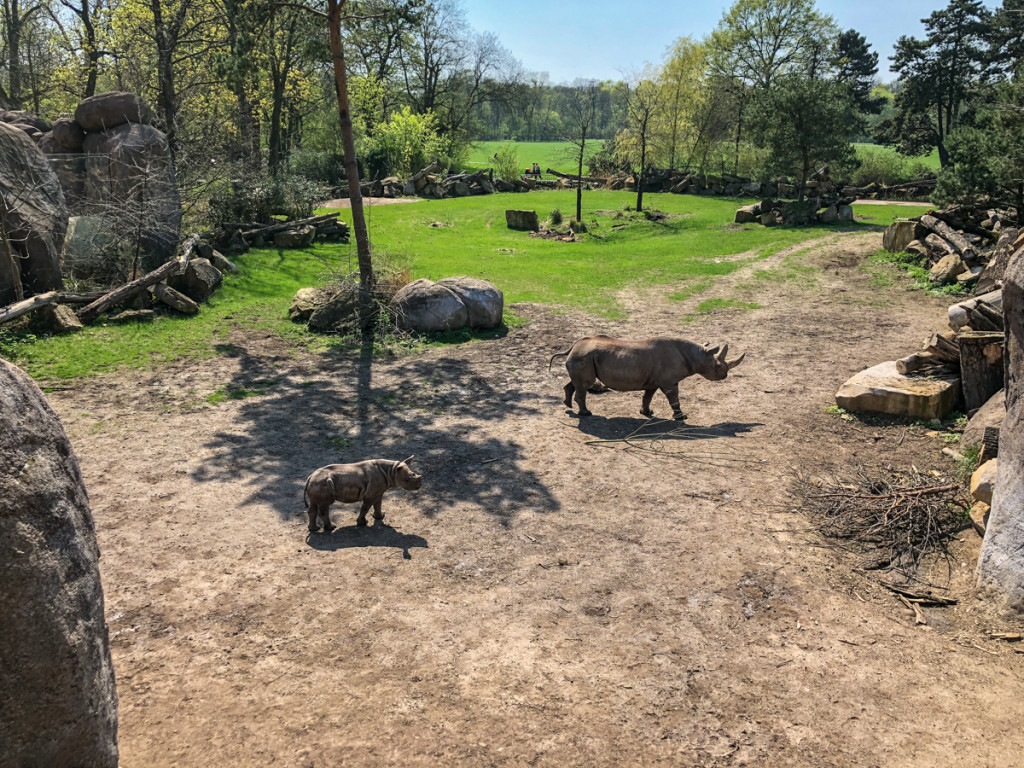 Юный носорог