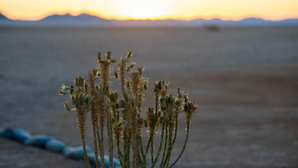 Пустынные цветы